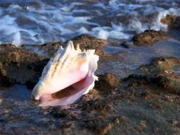 Queen Conch  1