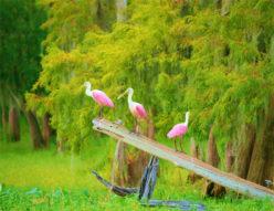 Spoonbills 1